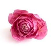 radicchio rosa 1